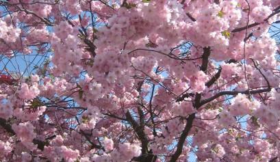 kirsikkapuu_kkeisu2